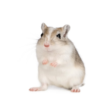 gerbil and small pet care