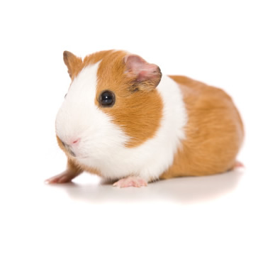 Guinea Pig, a pet looked after by walk the walk
